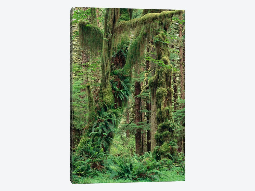 Temperate Rainforest With Moss Covered Trees And Ferns, Queets River Valley, Olympic National Park, Washington by Gerry Ellis 1-piece Canvas Art