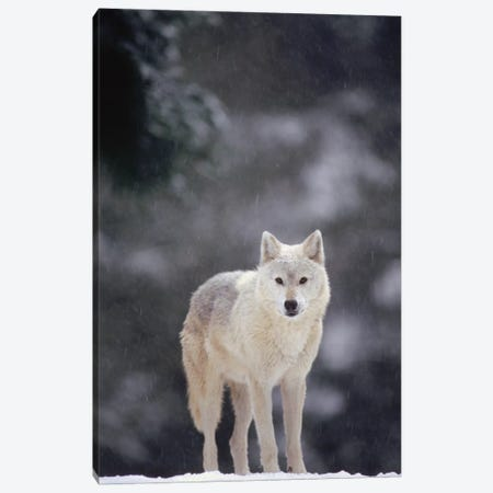 Timber Wolf Female In Falling Snow, North America Canvas Print #GEE29} by Gerry Ellis Canvas Artwork