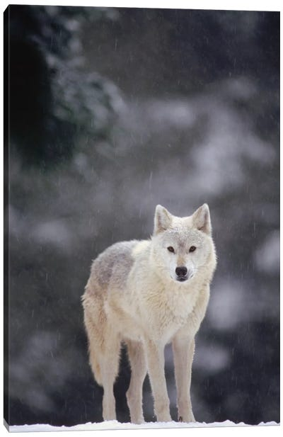 Timber Wolf Female In Falling Snow, North America Canvas Art Print