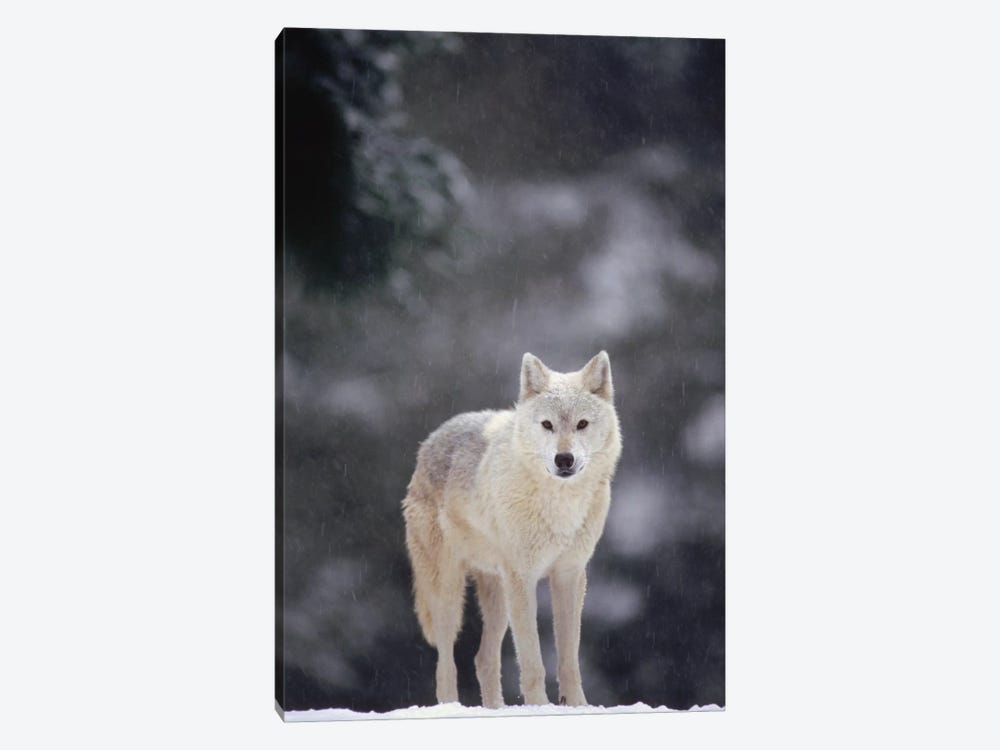 Timber Wolf Female In Falling Snow, North America by Gerry Ellis 1-piece Canvas Artwork