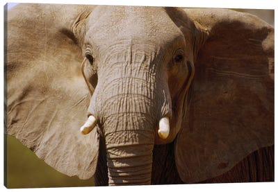 African Elephant Close Up, Amboseli National Park, Kenya Canvas Art Print
