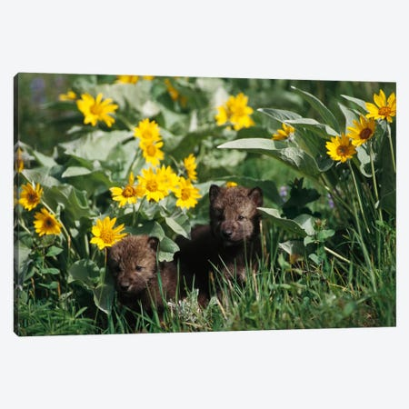 Timber Wolf Pups Among Flowers, Temperate North America Canvas Print #GEE30} by Gerry Ellis Art Print