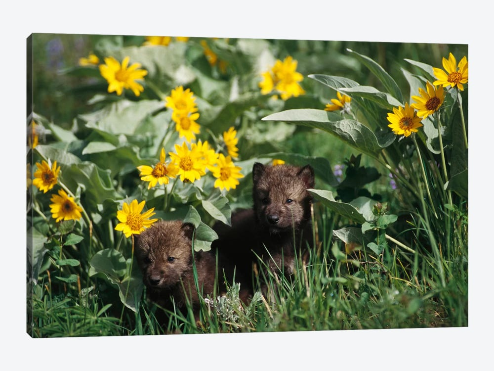 Timber Wolf Pups Among Flowers, Temperate North America by Gerry Ellis 1-piece Canvas Art