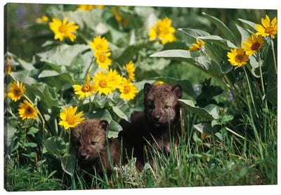 Timber Wolf Pups Among Flowers, Temperate North America Canvas Art Print