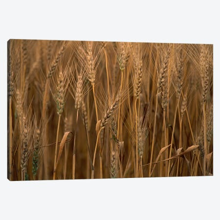 Wheat Cultivated, Sauvie Island, Oregon Canvas Print #GEE31} by Gerry Ellis Canvas Art Print