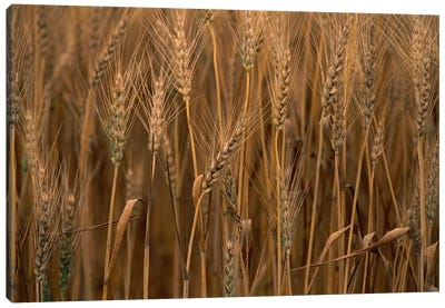 Wheat Cultivated, Sauvie Island, Oregon Canvas Art Print