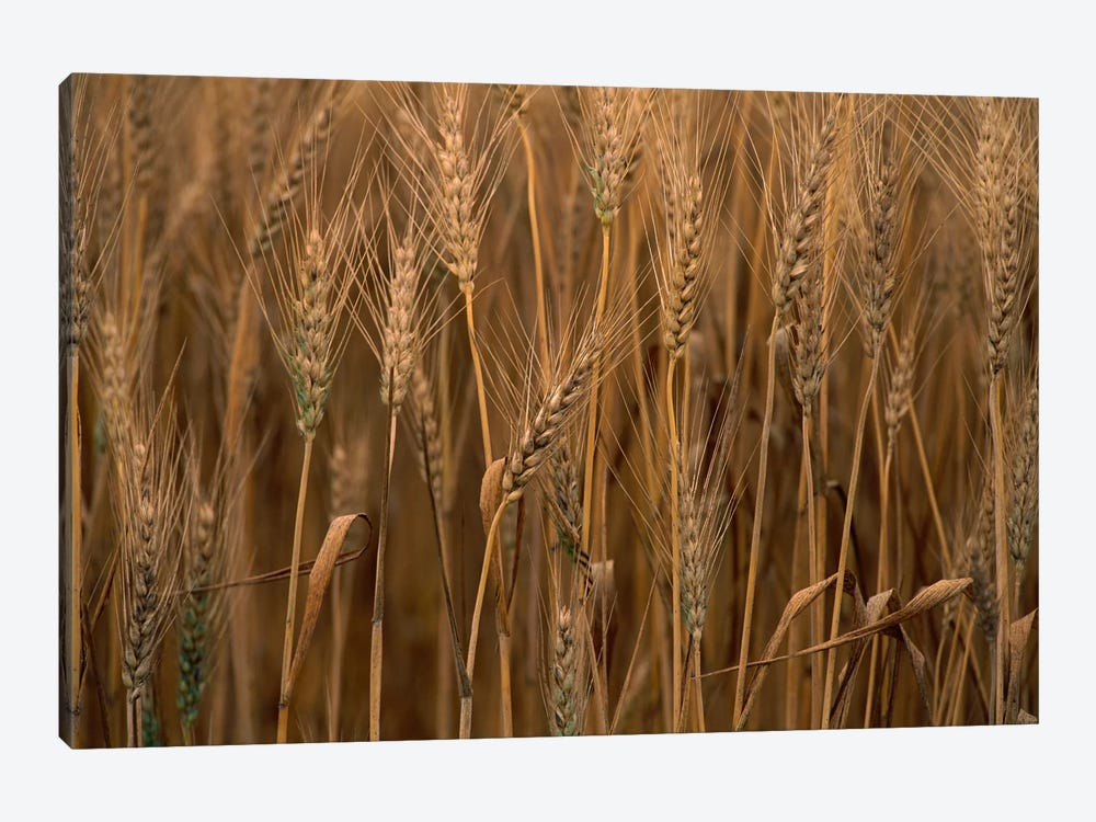 Wheat Cultivated, Sauvie Island, Oregon by Gerry Ellis 1-piece Canvas Print