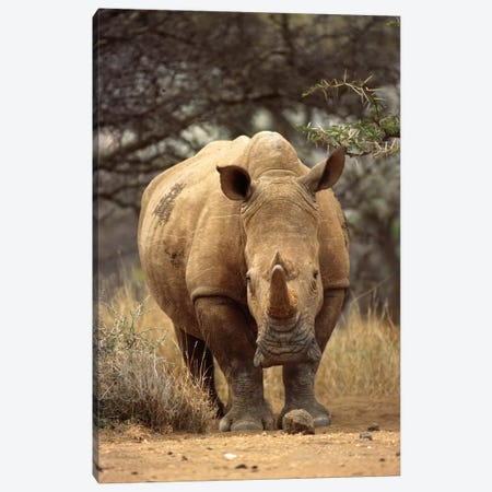 White Rhinoceros Female, Lewa Wildlife Conservancy, Kenya Canvas Print #GEE33} by Gerry Ellis Canvas Print