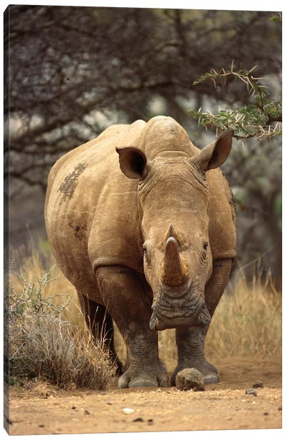 White Rhinoceros Female, Lewa Wildlife Conservancy, Kenya Canvas Art Print