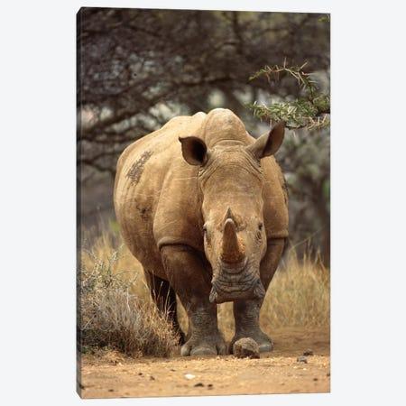 White Rhinoceros Female, Lewa Wildlife Conservancy, Kenya Canvas Print #GEE33} by Gerry Ellis Canvas Print
