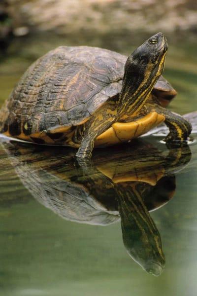 Yellow Bellied Slider Turtle Portrait In Water