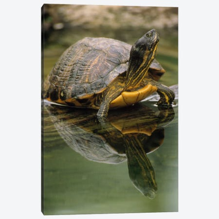 Yellow-Bellied Slider Turtle, Portrait, In Water, North America Canvas Print #GEE34} by Gerry Ellis Canvas Wall Art