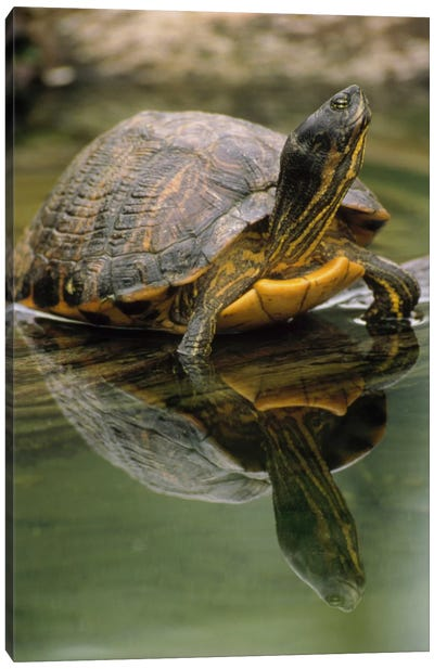 Yellow-Bellied Slider Turtle, Portrait, In Water, North America Canvas Art Print