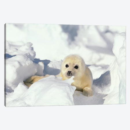 Harp Seal Pup, Gulf Of St. Lawrence, Canada Canvas Print #GEE35} by Gerry Ellis Canvas Artwork