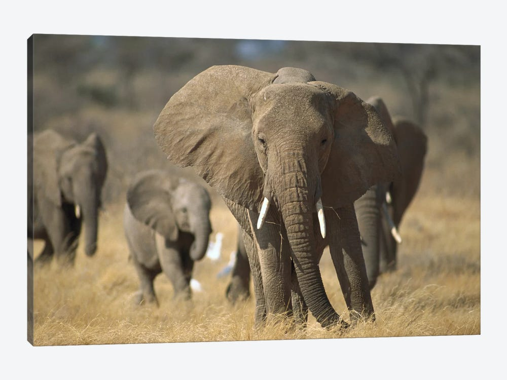 African Elephant Group, Vulnerable, Samburu National Reserve, Kenya by Gerry Ellis 1-piece Canvas Art Print