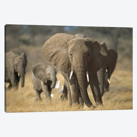 African Elephant Group, Vulnerable, Samburu National Reserve, Kenya Canvas Print #GEE3} by Gerry Ellis Canvas Wall Art