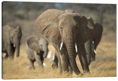 African Elephant Group, Vulnerable, Samburu National Reserve, Kenya Canvas Art Print