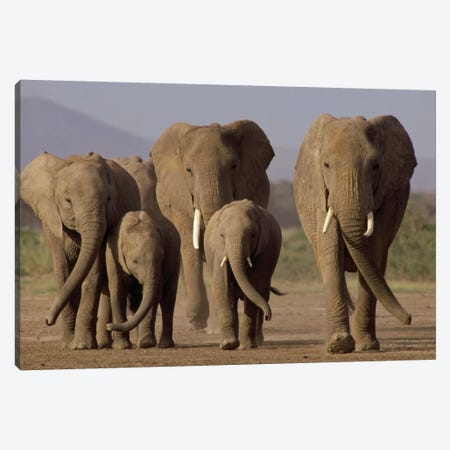African Elephant Herd With Calves, Amboseli National Park, Kenya Canvas Print #GEE4} by Gerry Ellis Art Print