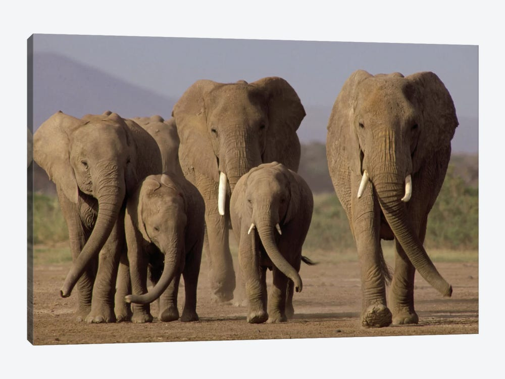 African Elephant Herd With Calves, Amboseli National Park, Kenya by Gerry Ellis 1-piece Canvas Wall Art