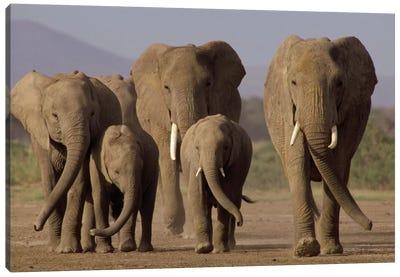 African Elephant Herd With Calves, Amboseli National Park, Kenya Canvas Art Print