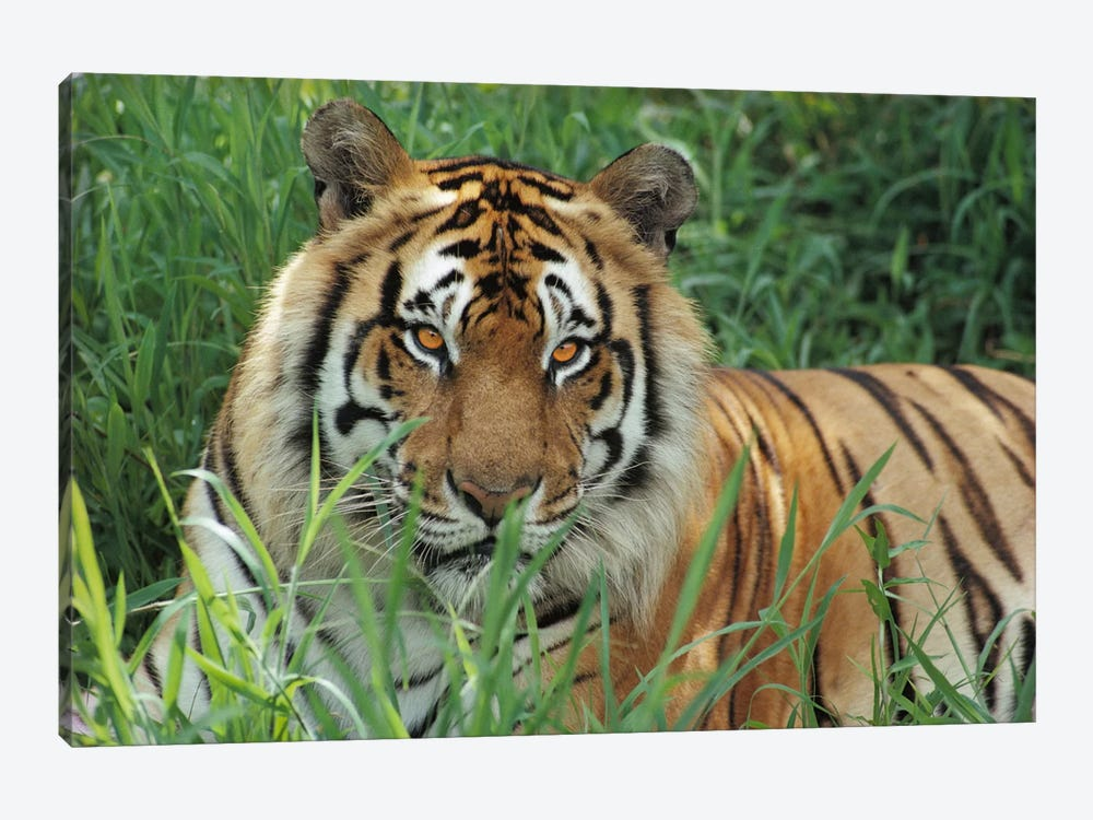 Bengal Tiger, Hilo Zoo, Hawaii by Gerry Ellis 1-piece Art Print