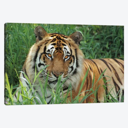 Bengal Tiger, Hilo Zoo, Hawaii 3-Piece Canvas #GEE5} by Gerry Ellis Canvas Art Print