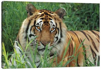 Bengal Tiger, Hilo Zoo, Hawaii Canvas Art Print