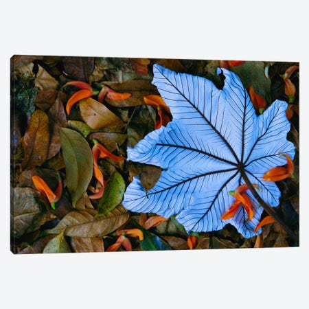 Cecropia Leaf Atop Lobster Claw Petals On Tropical Rainforest Floor, Mexico Canvas Print #GEE6} by Gerry Ellis Art Print