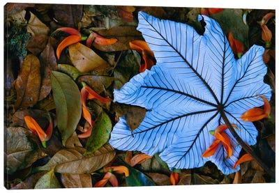 Cecropia Leaf Atop Lobster Claw Petals On Tropical Rainforest Floor, Mexico Canvas Art Print