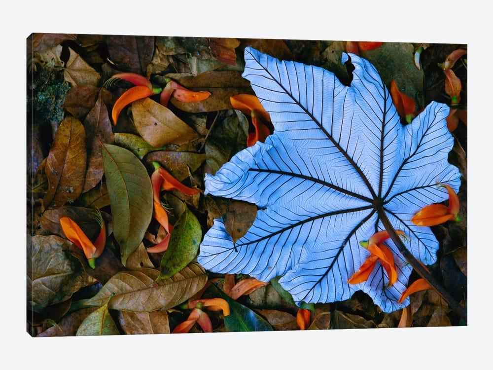 Cecropia Leaf Atop Lobster Claw Petals On Tropical Rainforest Floor, Mexico by Gerry Ellis 1-piece Canvas Art