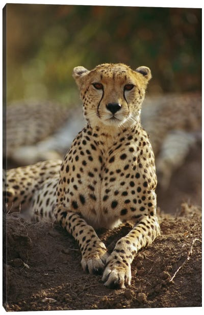 Cheetah, Masai Mara, Kenya Canvas Art Print