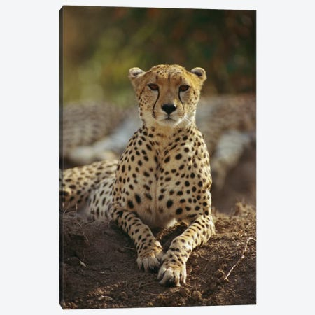 Cheetah, Masai Mara, Kenya Canvas Print #GEE7} by Gerry Ellis Art Print