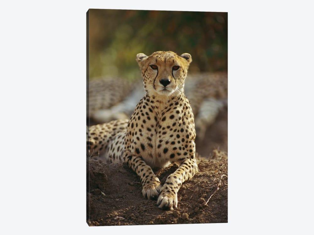 Cheetah, Masai Mara, Kenya by Gerry Ellis 1-piece Canvas Print