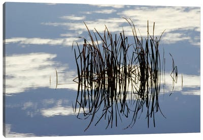 Common Cattail Blades Reflected In Pond In Winter, Malheur National Wildlife Refuge, Oregon Canvas Art Print