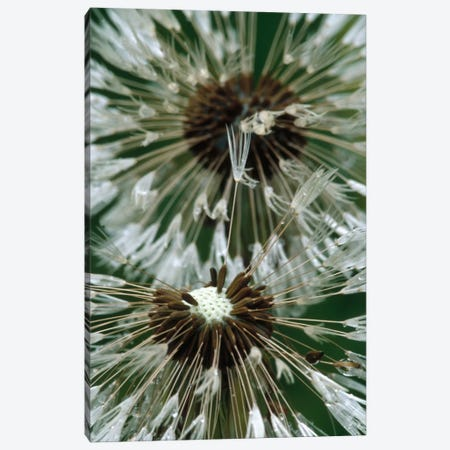 Dandelion Seed Head, North America Canvas Print #GEE9} by Gerry Ellis Canvas Wall Art