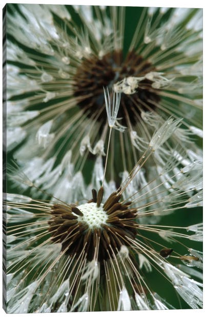 Dandelion Seed Head, North America Canvas Art Print