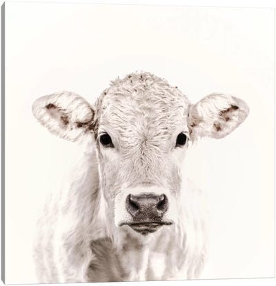 Blonde Cattle Maverick White Square Canvas Art Print