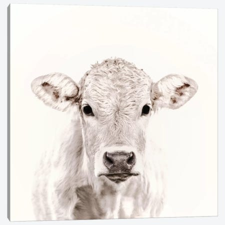 Blonde Cattle Maverick White Square Canvas Print #GEL121} by Monika Strigel Canvas Art