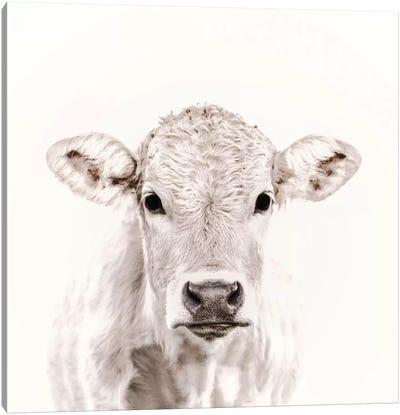 Blonde Cattle Maverick White Square Canvas Art Print
