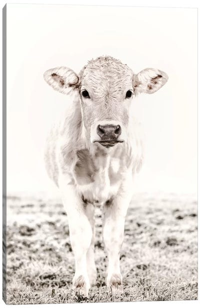 Blonde Cattle Maverick White Canvas Art Print