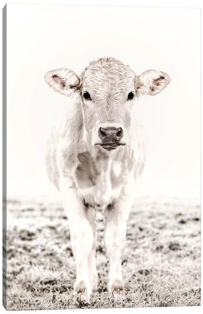 Blonde Cattle Maverick White Canvas Art Print