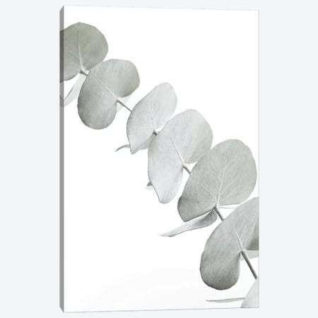 Eucalyptus White III Canvas Print #GEL150} by Monika Strigel Canvas Print