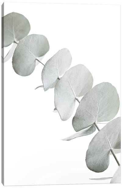 Eucalyptus White III Canvas Art Print