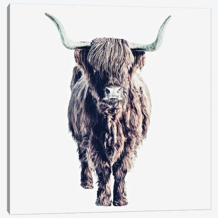 Highland Cattle Colin White Square Canvas Print #GEL176} by Monika Strigel Canvas Art