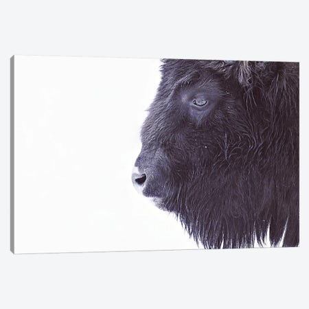 Black Buffalo Portrait Canvas Print #GEL17} by Monika Strigel Canvas Print
