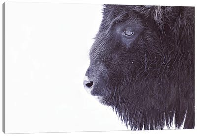 Black Buffalo Portrait Canvas Art Print