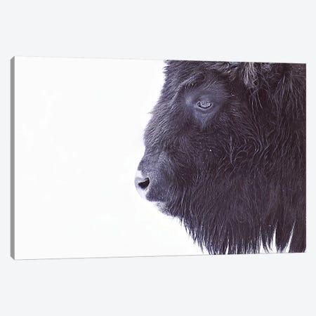 Black Buffalo Portrait Canvas Print #GEL17} by Monika Strigel Canvas Print