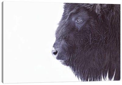 Black Buffalo Portrait Canvas Art Print