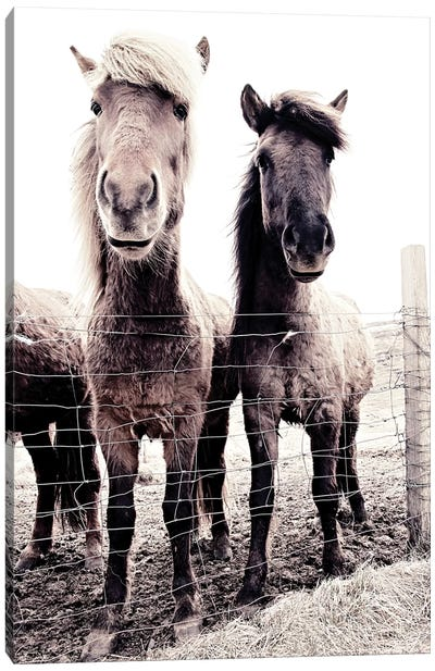 Iceland Horse Asti And Bessa 09 Canvas Art Print