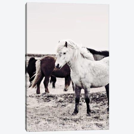 Iceland Horse Bjarmi Canvas Print #GEL190} by Monika Strigel Art Print